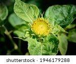 Decorative Garden Sunflower....