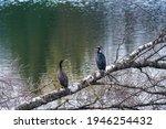A Couple Of Great Cormorants...