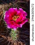 Flowering Cactus Plants  Pink...