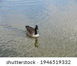 Duck in the lake at millpond