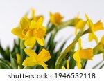 yellow spring flowers  fresh... | Shutterstock . vector #1946532118