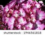 Magenta Pink Hydrangea In A...