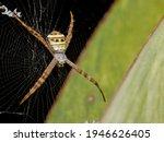 Multi Coloured Argiope Spider...