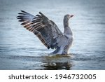 Goose In Landing Approach To...