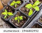 Capsicum Seedlings Planted In...