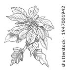 Hand Drawn Sketch Of Poinsettia ...