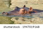 Hippo Swimming In River  Detail ...