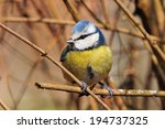 Blue Tit Perching On A Branch....