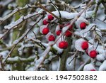Red Berries Covered With A...