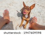 Mexican Brown Chihuahua Dog On...