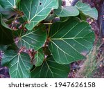 Green Veined Leaves Of Large...