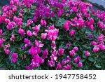 Cyclamen Persicum Flowers...