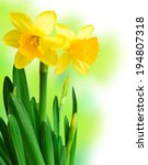 Daffodils In Green Grass Over...