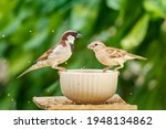 Male And Female House Sparrow...