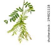 Tamarind Leaf Isolated