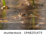 Frog On The Surface Of The Pond....