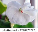 Fragile Delicate White Geranium ...