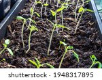Seedlings Of Tomatoes Grow In A ...