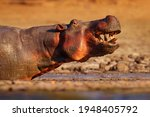 Hippo With Open Mouth Muzzle...