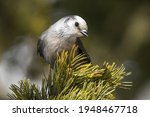 A Canada Jay Perched In A...