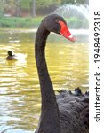 Black Swan Head Long Neck...