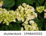 Hortensia Flower   Hydrangea...