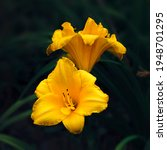 Two Yellow Lilies On A Dark...