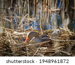 A Greylag Goose Hatches Its...