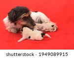 Purebred Small Jack Russell...