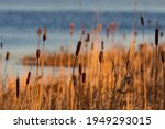 Cattails In Wetlands Area At...