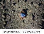 An Indigo Blue Shelled Soldier...