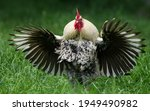 A Rooster Is Flapping His Wings ...
