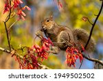 Grey Squirrel Eating Maple Tree ...
