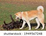 Akita Inu Puppy And Labrador...