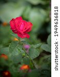 Closeup Of A Red Rose Flower In ...