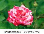 Two Tone Color Rose