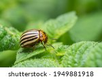 Colorado potato beetles in...