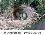 A clutch of eggs in a House Finch bird nest in Southwestern Ontario, Canada.