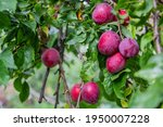 Ripe Plums On A Fruit Tree In...