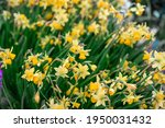 Background Of Yellow Daffodils. ...
