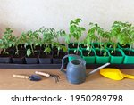 Growing Tomato Seedlings. Boxes ...