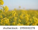 yellow field of flowering rape... | Shutterstock . vector #1950332278