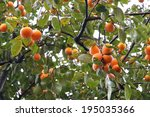 Japanese Persimmon Tree   Kaki...