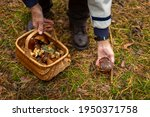 Collecting Mushrooms In The...