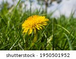 Dandelion In The Grass. Yellow...