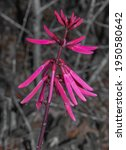 Coral bean. Erythrina herbacea. Range: along the coastal plain, southeast North Carolina south to Florida; west to Texas. Visited by hummingbirds. Florida. USA, bright red bloom spike