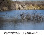 Heron In The Swampland Of The...