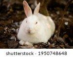 calm white rabbit lying down on ...   Shutterstock . vector #1950748648