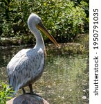 Pelican Sits On A Stone By A...