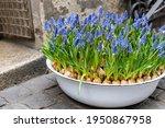 blue muscari flowers  grape... | Shutterstock . vector #1950867958